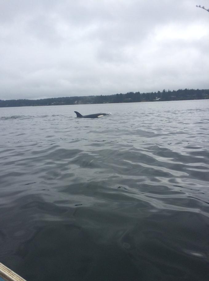 IMG_2412_killer whales_5-22-16